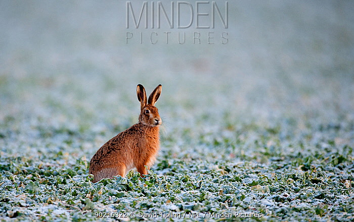 European brown hare (Lepus europaeus) in snowy field Norfolk, UK, winter  -  David Tipling/ npl