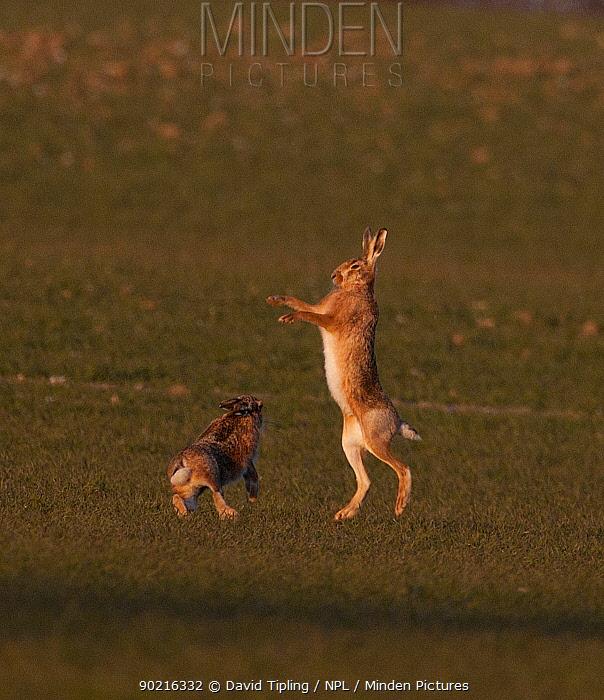 European brown hare (Lepus europaeus) boxing in spring Norfolk, UK, March  -  David Tipling/ npl