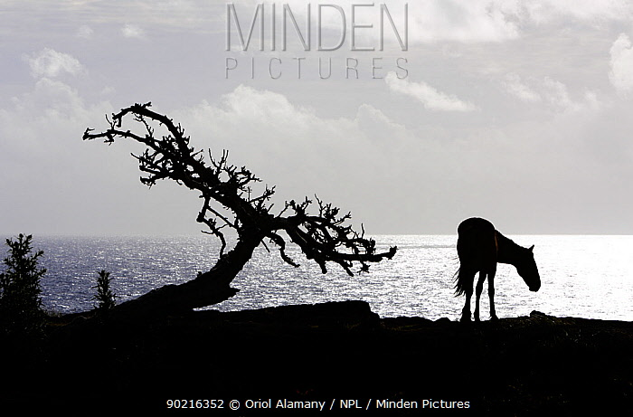 Horse (Equus caballus) and tree silhouetted against the Pacific Ocean in the Northwest coast of Easter Island (Pascua or Rapa Nui), Unesco World Heritage Site, November 2004  -  Oriol Alamany/ npl