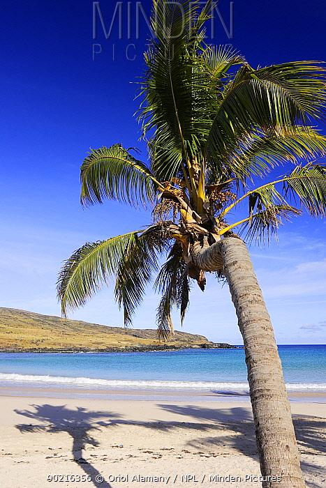 Chilean Palm tree (Jubaea chilensis) on Anakena beach, Easter Island (Pascua, Rapa Nui), Unesco World Heritage Site, November 2004  -  Oriol Alamany/ npl