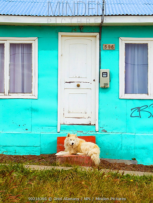 Dog (Canis familiaris) lying outside the door of his home in Puerto Natales, Patagonia, Chile, January 2006  -  Oriol Alamany/ npl