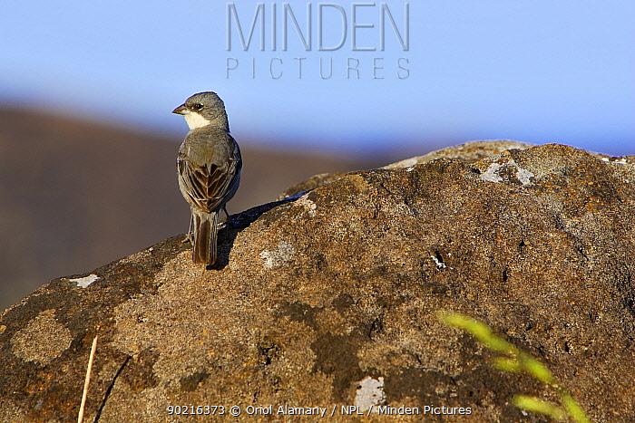 Common Diuca-Finch (Diuca diuca) perched on rock, Easter Island (Pascua or Rapa Nui), October  -  Oriol Alamany/ npl