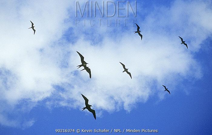 Ascension frigatebird (Fregata aquila) flock soaring high, Ascension island, Atlantic Ocean, Vulnerable species  -  Kevin Schafer/ npl