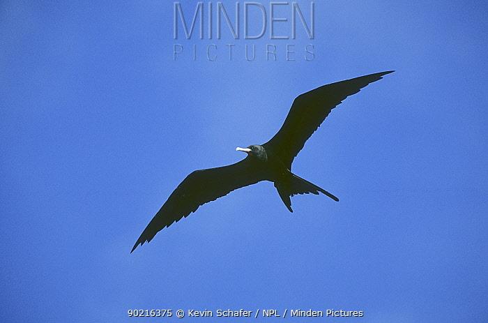 Ascension frigatebird (Fregata aquila) male soaring high, Ascension island, Atlantic Ocean, Vulnerable species  -  Kevin Schafer/ npl