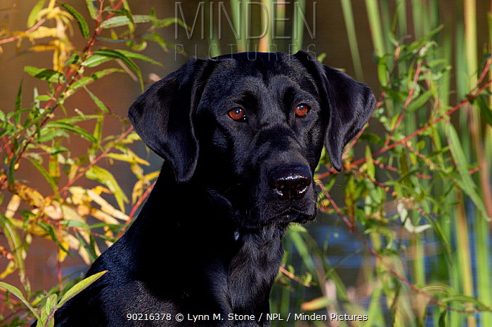 Black Labrador Retriever (field type) at edge of pond with cattails, Connecticut, USA, October  -  Lynn M. Stone/ npl