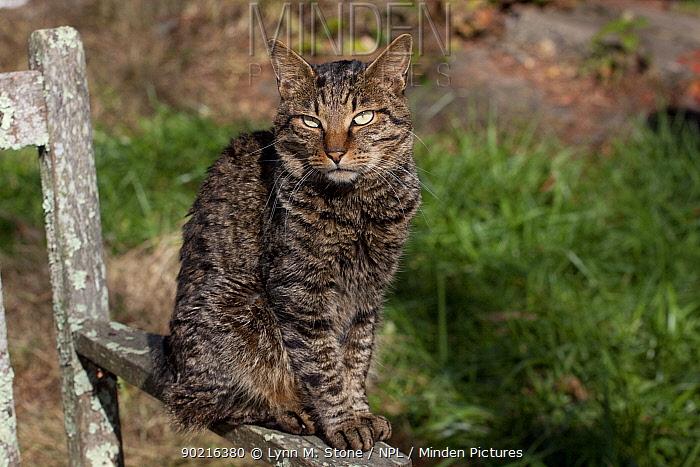 Kurilian Bobtail Cat (origins: Russia) sitting on arm of old, lichen-encrusted bench, Connecticut, USA  -  Lynn M. Stone/ npl