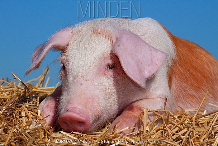 Domestic pig, tan and white piglet lying on straw, Illinois, USA  -  Lynn M. Stone/ npl