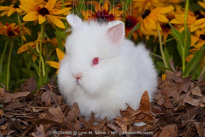 Domestic Lions-Head Rabbit, juvenile amongst in oak leaves and Black eyed susan flowers, Illinois, USA  -  Lynn M. Stone/ npl