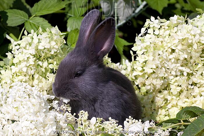 Domestic rabbit, baby blue New Zealand (breed) rabbit huddled amongst white flossom, Illinois, USA  -  Lynn M. Stone/ npl