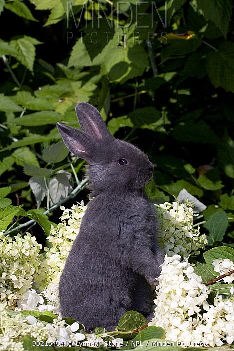 Domestic rabbit, baby blue New Zealand (breed) rabbit sitting up amongst white flossom, Illinois, USA  -  Lynn M. Stone/ npl