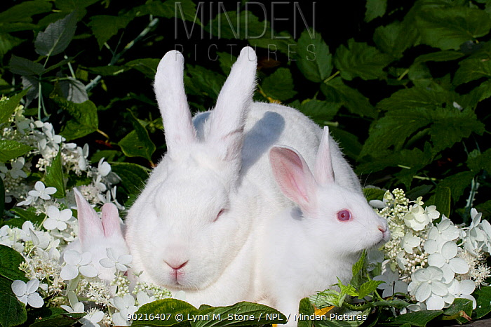 Minden Pictures Stock Photos Domestic Rabbit Mother And