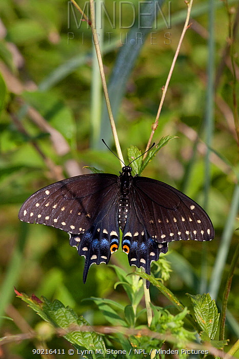 Black Swallowtail butterfly (Papilio polyxenes) at rest on leaves in meadow, Illinois, USA  -  Lynn M. Stone/ npl