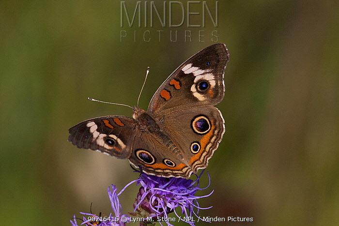 Common Buckeye butterfly (Junonia coenia) feeding on nectar of Rough Blazing-Star (Liatris aspera) Illinois, USA  -  Lynn M. Stone/ npl