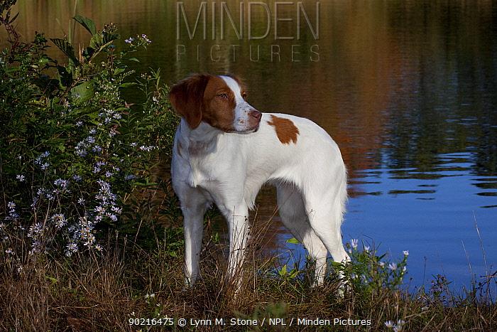 Brittany spaniel alongside pond in autumn, Connecticut, USA  -  Lynn M. Stone/ npl