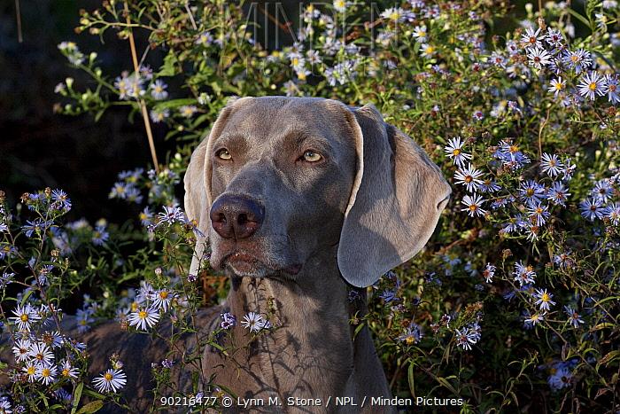 Weimaraner dog, portrait in front of wild aster flowers, Connecticut, USA  -  Lynn M. Stone/ npl