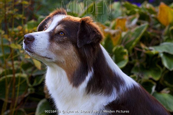 Portrait of Australian Shepherd in front of autumn garden plants, Massachusetts, USA  -  Lynn M. Stone/ npl