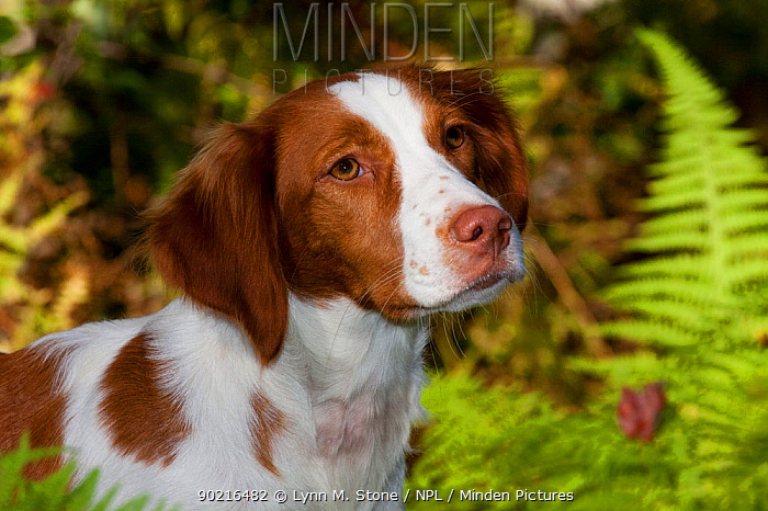 Portrait of a Brittany spaniel amongst ferms at edge of woodland in autumn, Connecticut, USA  -  Lynn M. Stone/ npl