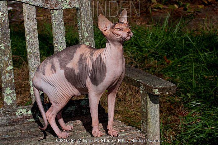 Sphynx Cat (Origins: Canada) on old, lichen-encrusted chair, Connecticut, USA  -  Lynn M. Stone/ npl