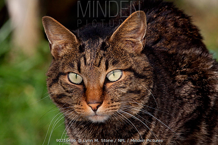 Portrait of Kurilian Bobtail cat (origins: Russia) Connecticut, USA  -  Lynn M. Stone/ npl
