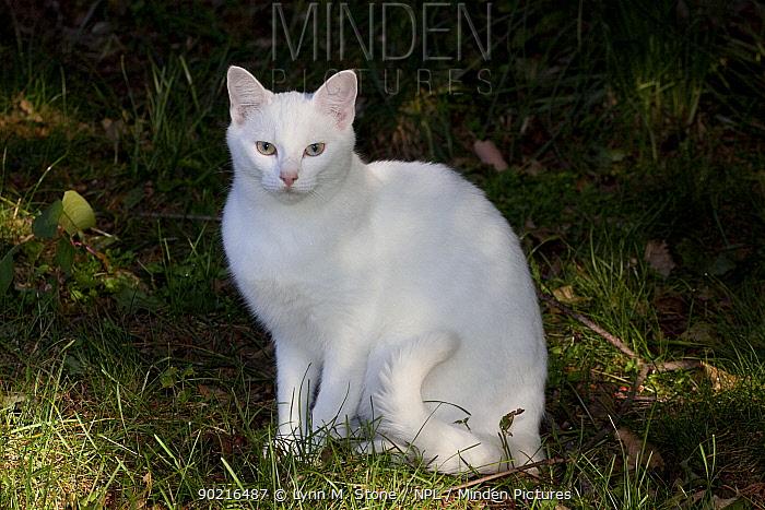 White domestic cat, sitting on grass, Connecticut, USA  -  Lynn M. Stone/ npl