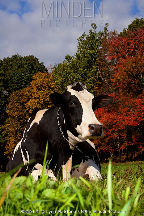 Holstein Cow lying down in autumn pasture by woodland edge, Connecticut, USA  -  Lynn M. Stone/ npl