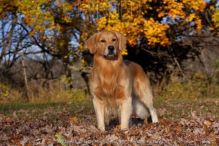 Male Golden Retriever amongst autumn leaves on edge of woodland, Illinois, USA  -  Lynn M. Stone/ npl