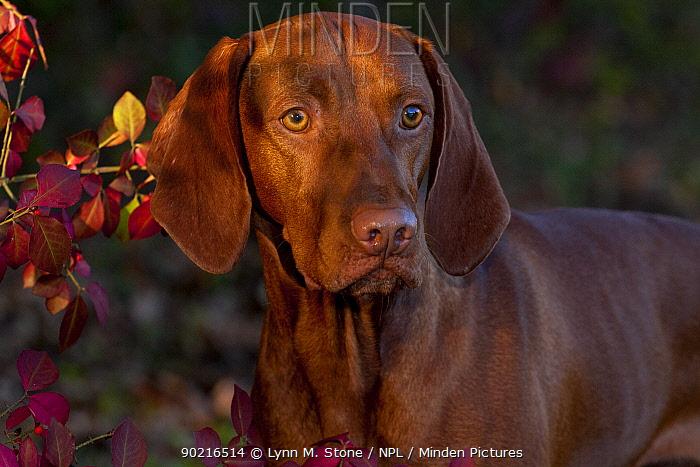 Hungarian Vizsla portrait amongst autumn foliage, Connecticut, USA  -  Lynn M. Stone/ npl