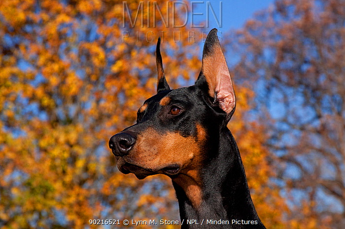 Black female Doberman Pinscher with ears erect, in front of yellow maple tree, Illinois, USA  -  Lynn M. Stone/ npl
