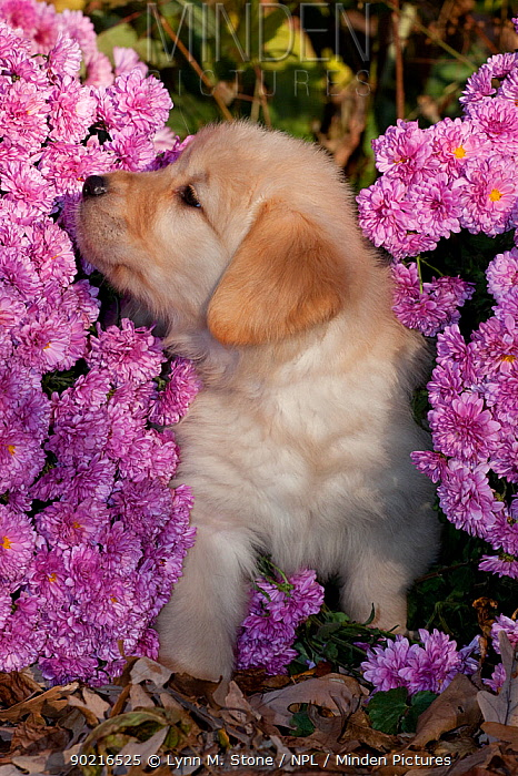 Golden Retriever puppy sniffing Chrysanthemum flowers, Illinois, USA  -  Lynn M. Stone/ npl