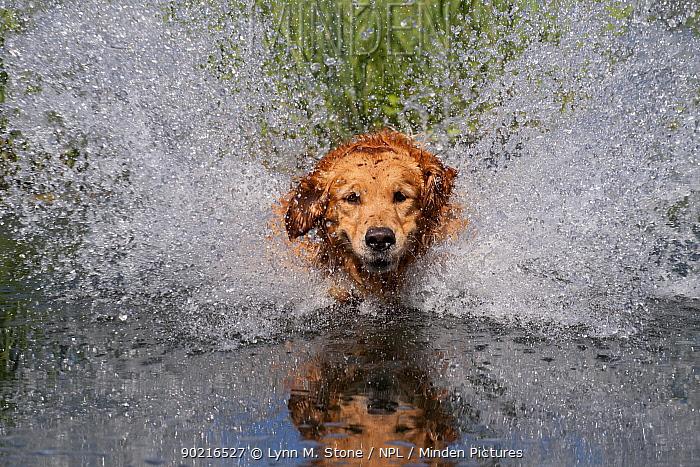 Golden retriever splashing through water, USA  -  Lynn M. Stone/ npl