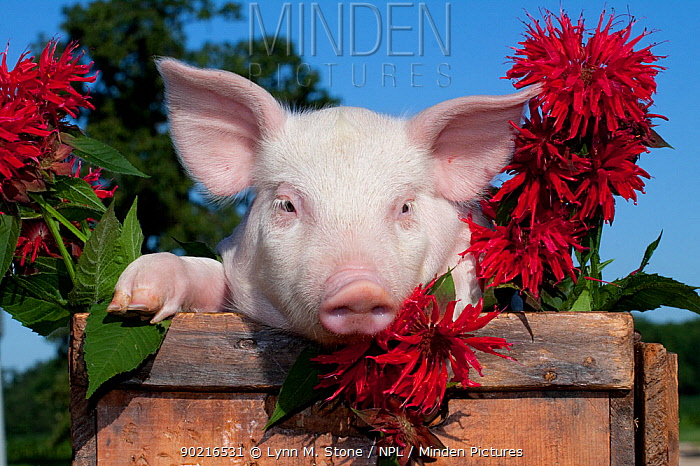 Domestic pig, White piglet in wooden case with bee balm flowers, Illinois, USA  -  Lynn M. Stone/ npl