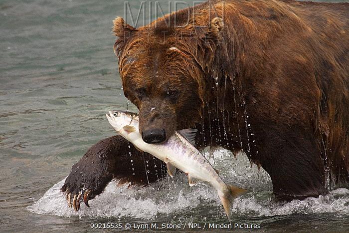 Male Grizzly Bear (Ursus arctos horribilis) splashing towards shore with a Chum Salmon caught in McNeil River, Alaska, USA, July  -  Lynn M. Stone/ npl