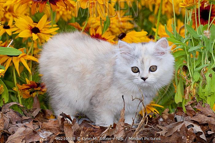 Persian Kitten (Baby Doll type) amongst leaves and Black eyed susan flowers, Illinois, USA  -  Lynn M. Stone/ npl