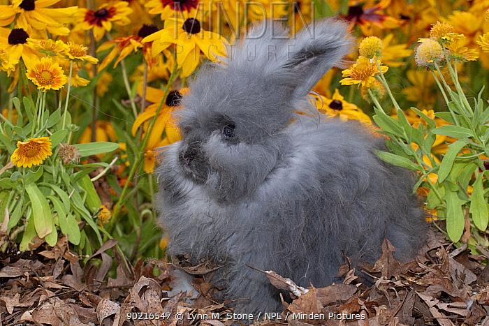 Domestic Lions-Head rabbit, juvenile, on oak leaves, among Black-eyed susan flowers, Illinois, USA  -  Lynn M. Stone/ npl