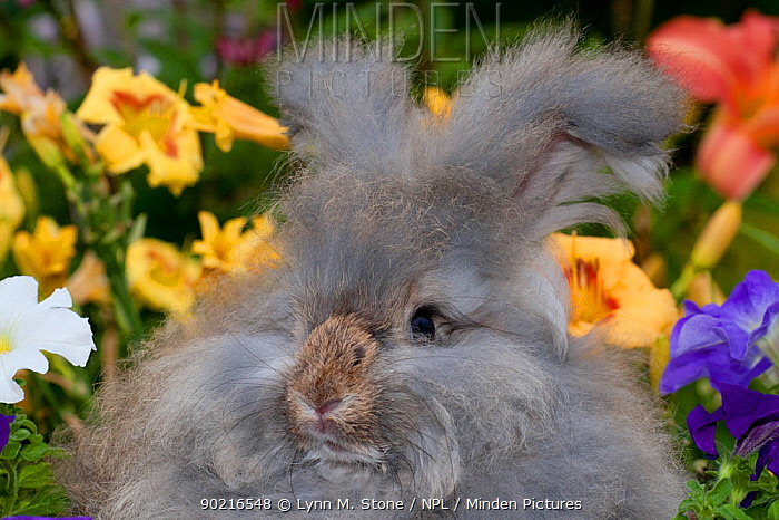 Domestic rabbit, of English Angora rabbit with flowers, Illinois, USA  -  Lynn M. Stone/ npl