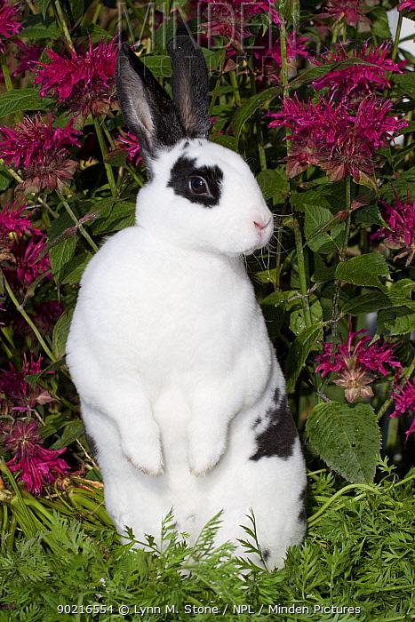 Domestic rabbit, broken pattern Mini Rex Rabbit standing up on carrot tops, Illinois, USA  -  Lynn M. Stone/ npl