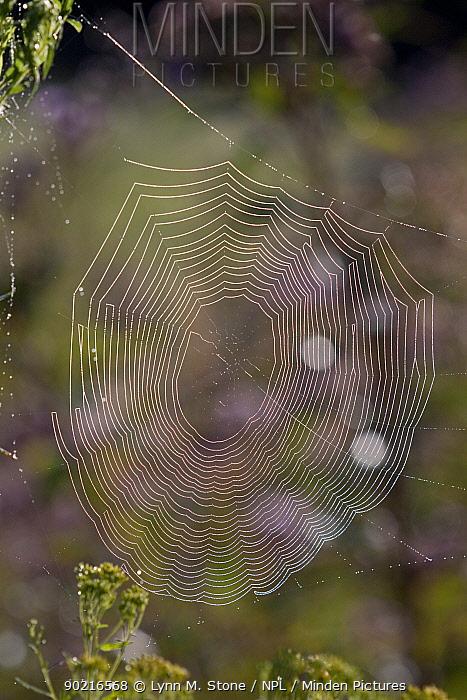 Dew-wet web of an orb weaver spider (Araneidae) in a meadow, early morning, Connecticut, USA  -  Lynn M. Stone/ npl