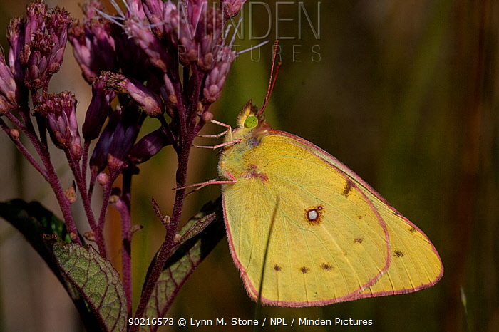 Clouded Sulphur butterfly (Colias philodice) resting on Joe-Pye-Weed in midwestern fen, Illinois, USA  -  Lynn M. Stone/ npl