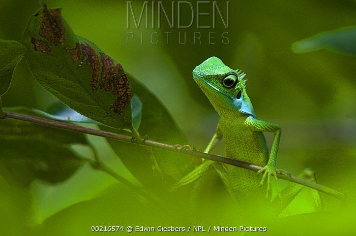 Green Crested, Fence Lizard (Bronchocela cristatella) in green tropical forest vegetation, Sarawak, Borneo, Malaysia  -  Edwin Giesbers/ npl