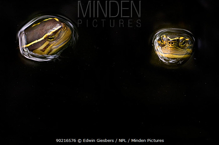 Two Malaysian box turtles (Cuora amboinensis) with heads above water, Sarawak, Borneo, Malaysia  -  Edwin Giesbers/ npl