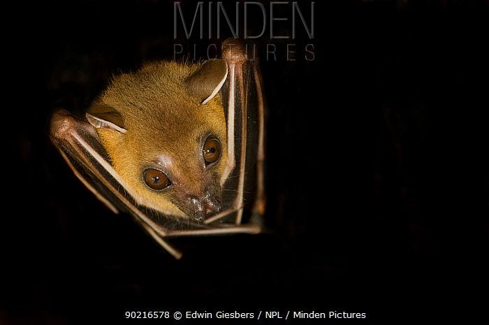 Lesser Short-nosed Fruit Bat (Cynopterus brachyotis) head portrait with wings folded, Sarawak, Borneo, Malaysia  -  Edwin Giesbers/ npl