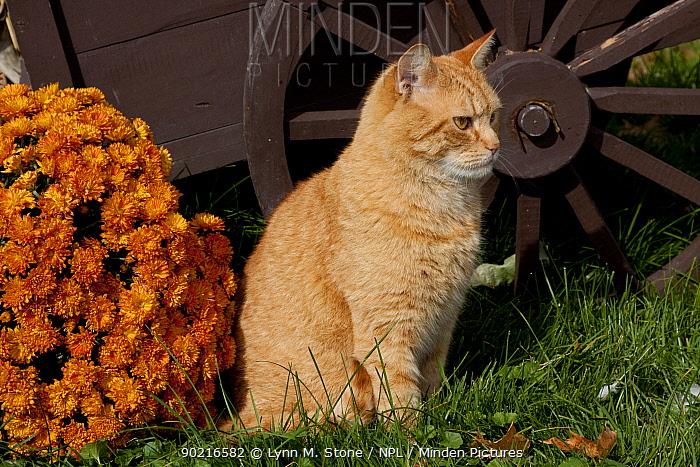 Yellow tabby barn cat beside wooden wheelbarrow and chrysanthemum flowers, New York, USA  -  Lynn M. Stone/ npl