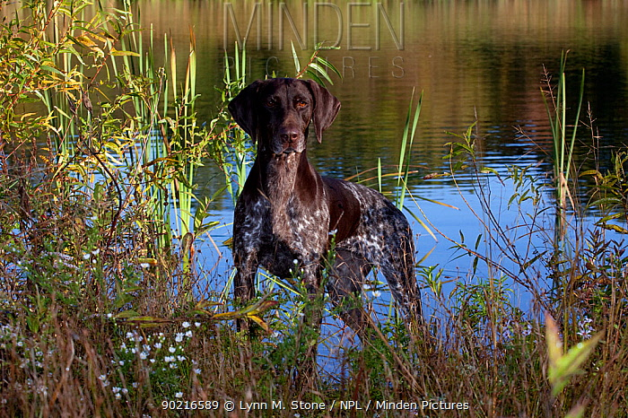 German Shorthair Pointer beside lake in early morning, Connecticut, USA, October  -  Lynn M. Stone/ npl