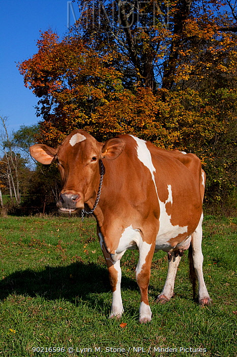 Guernsey cow chewing cud, in pasture, with Sugar Maple tree in background, October, Connecticut, USA  -  Lynn M. Stone/ npl