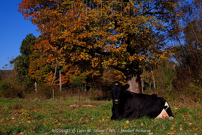 Holstein dairy cow lying down, autumn, Connecticut, USA,  -  Lynn M. Stone/ npl