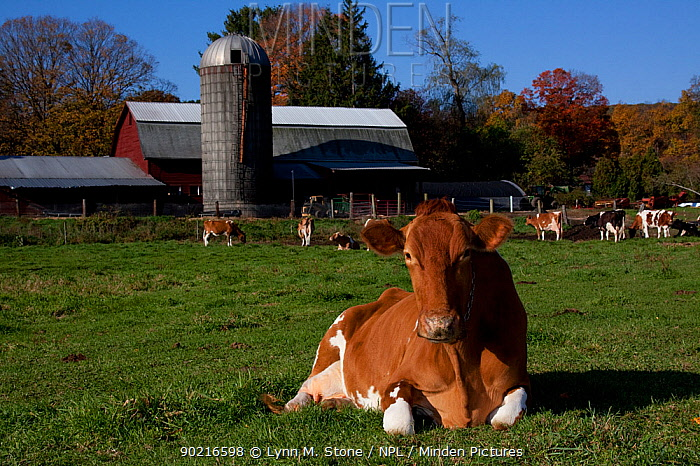 Guernsey cow chewing cud, lying on pasture in front of farm buildings, Granby, Connecticut, USA  -  Lynn M. Stone/ npl