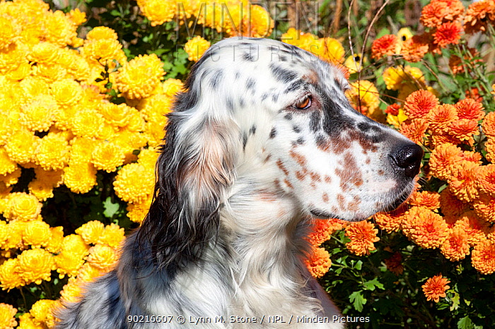 Portrait of English Setter in front of chrysanthemum flowers in autumn, Connecticut, USA  -  Lynn M. Stone/ npl