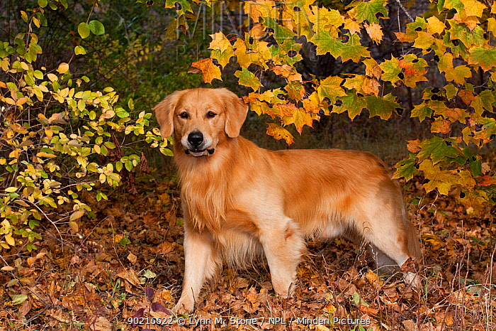 Golden Retriever in autumn vegetation, Illinois, USA  -  Lynn M. Stone/ npl