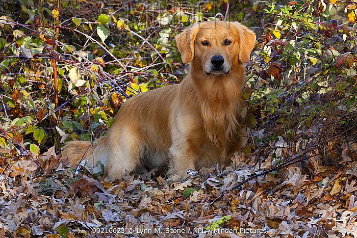 Golden Retriever in autumn leaves and vegetation, Illinois, USA  -  Lynn M. Stone/ npl