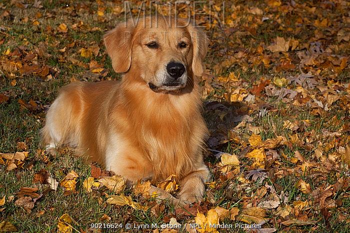 Golden Retriever lying down amongst autumn leaves on grass, Illinois, USA  -  Lynn M. Stone/ npl